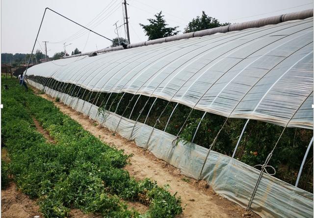 农村里年赚50多万的生意:大棚种植西红柿,只要好吃赚钱很容易