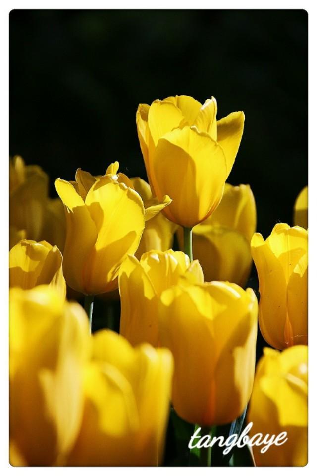 黄色郁金香高清图片