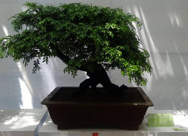 小叶紫檀树图片