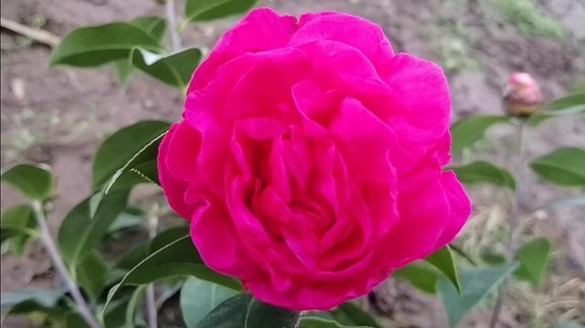 花桃牡丹鹦鹉图片