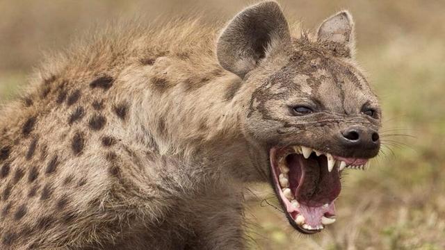 鬣狗掏犀牛