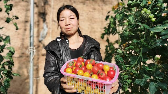 河南山里农民夫妇种植温室大棚番茄,年收入几十万,小农夫很佩服