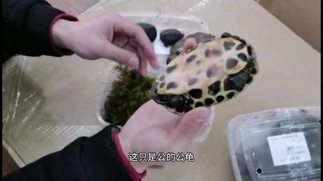 原来分辨乌龟公母,如此简单,学会再也不怕买错了!_腾讯网