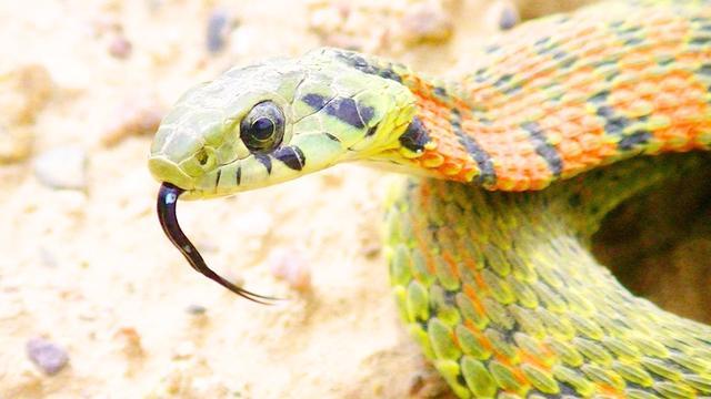 野鸡脖子蛇真实图片