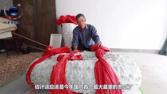 爷爷在阳台上盆栽超级冬瓜,竟重达八百斤,几个... _手机网易网