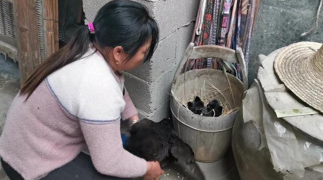 东北大龙:农村大妈在家孵小鸡,只用一盆温水,你见过这种方法么