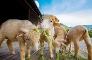 描写羊是怎样吃草的亚博娱乐城