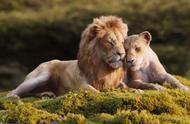 这是什么品种的小猫咪?狮子王vs猫子王,简直可爱到犯规