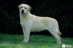 拉布拉多猎犬的历史你知道嘛?