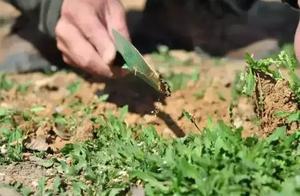 挖野菜挖成草的童年趣事作文
