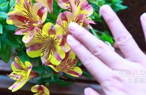 六出花开花了,一起来欣赏一下,它独特的豹纹花瓣吧!