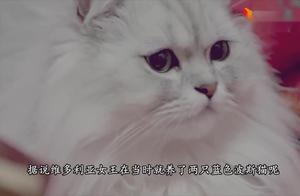 宠物猫颜值担当波斯猫,看这贵妇像,波斯猫:老铁没毛病