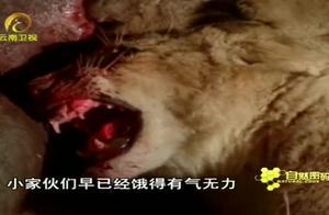 对水牛来说,这种死法残忍而漫长,但这却让小狮子存活下来了