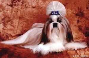 世界名犬——西施犬(菊花犬、狮毛犬、中国狮子犬)玩具犬类