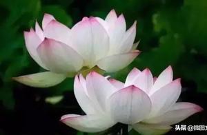 圆明园沉睡百年古莲复活开花,太神奇了