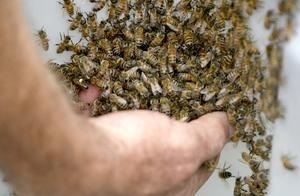 新收的石洞蜂群,活框饲养做脾不整齐,如何处理?老蜂农有绝招