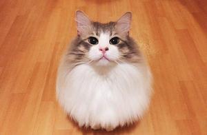 挪威森林猫洗澎澎 仙气瞬间消风小一号 网友笑歪:裸照外流