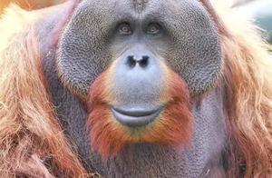 陪伴南京人20年的红猩猩乐申意外离世!