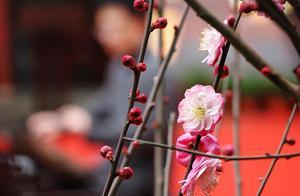 爱申活 暖心春|狮子林梅花首次来到豫园,劈梅盆景引人瞩目