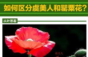 沙湖公园出现疑似罂粟幼苗,如何区分虞美人和罂粟花?