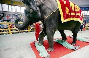 泰国的大象按摩法,大象:我还没开始用力,你就不行了