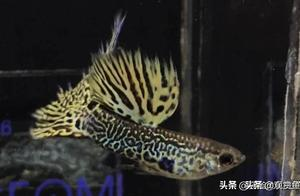 孔雀的饲料使用技巧(1-5)(观赏鱼世界)孔雀鱼