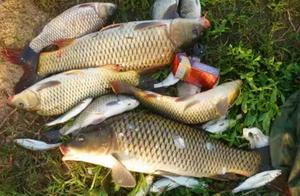 总算明白:玉米饵最佳的处理方式,难怪鲤鱼不咬钩,白瞎了!
