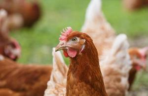 养鸡技术|放养产蛋鸡蛋的收集