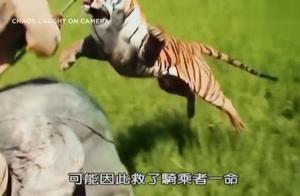 高清完整版,印度老虎攻击骑大象男子,实在是太残忍了!