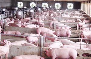 中国取消4513吨猪肉订单,多家农场欲哭无泪高呼上当,面临破产!