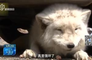 """屋子冒出来个""""小冤家""""!银狐闯入小姐姐的家,蹭吃蹭喝不肯走!"""