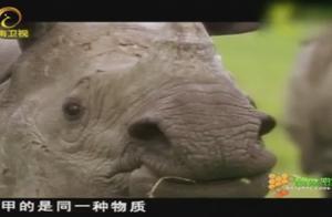 争夺交配权的亚洲犀牛十分危险,它们有着锋利的门牙,很具威胁性