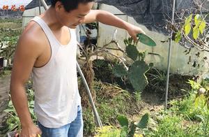 """农村小伙在家种植花卉,被小孩捣坏的仙人掌,还有的""""救""""吗"""