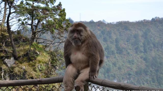 张家界的猴子是野生的吗?