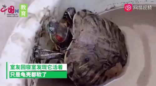 大学生8个月后返校乌龟还活着 具体详