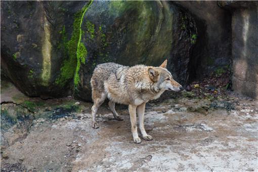 动物园喂狼吃草游客被列入黑名单-摄图网
