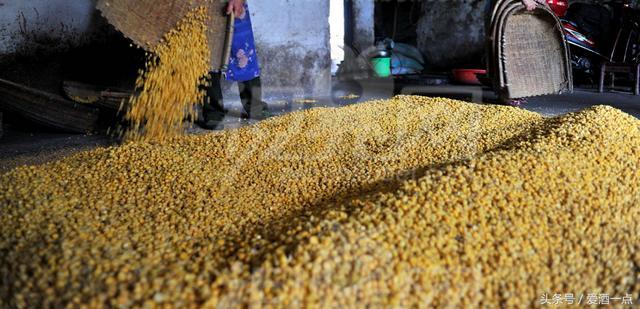 玉米加白酒能发酵吗
