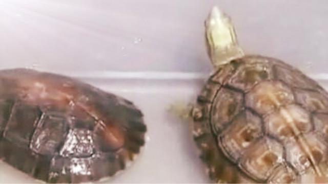 乌龟在水里会憋死吗?养他们应该注意什么