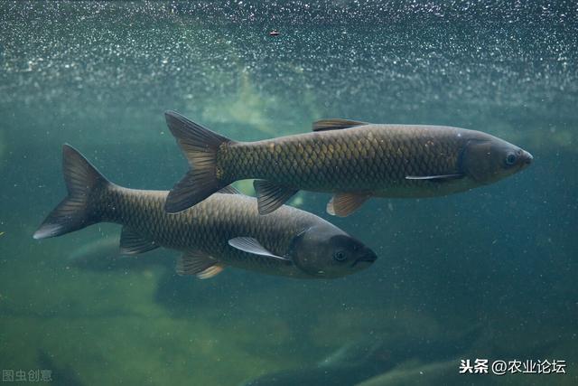 青鱼多久能长到十斤以上,养殖的时候应该注意什么?