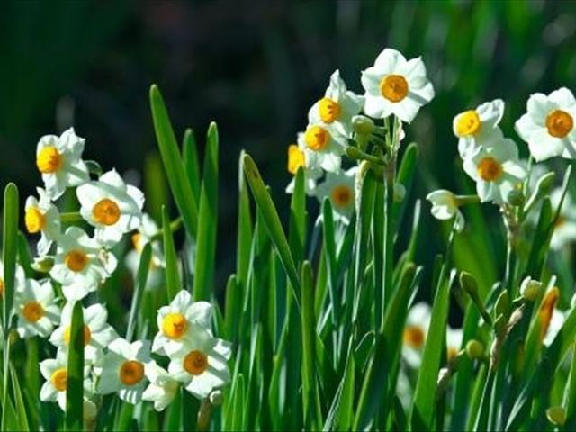 土培的水仙可以施肥吗