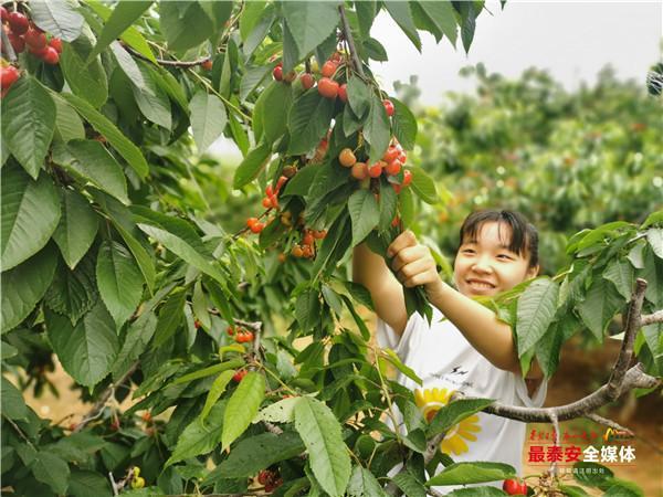 大红樱桃挂满枝头,去大河峪摘樱桃,体验农家乐