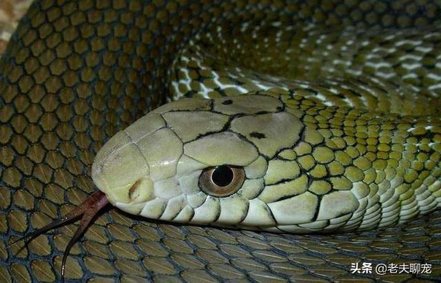 王锦蛇的生活习性