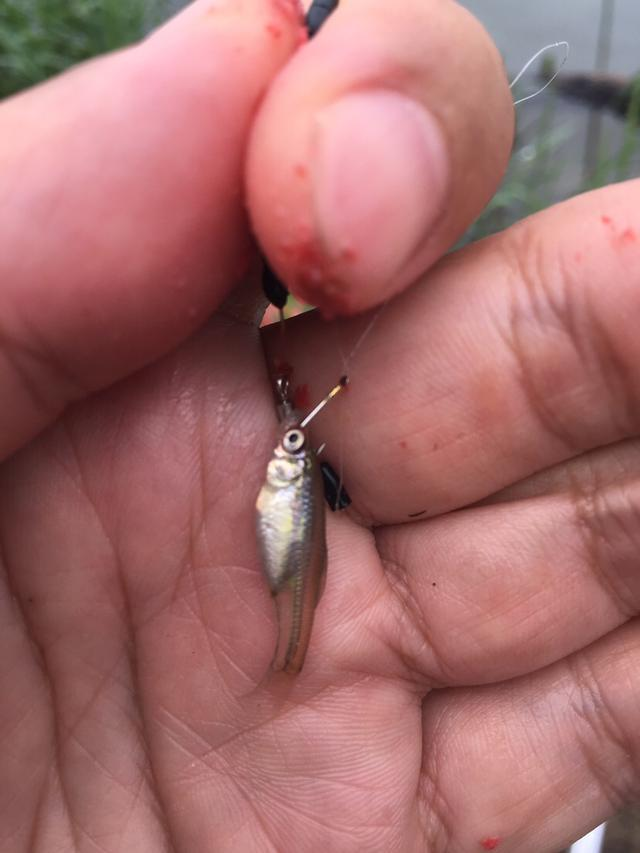 灞河钓鱼用什么饵料