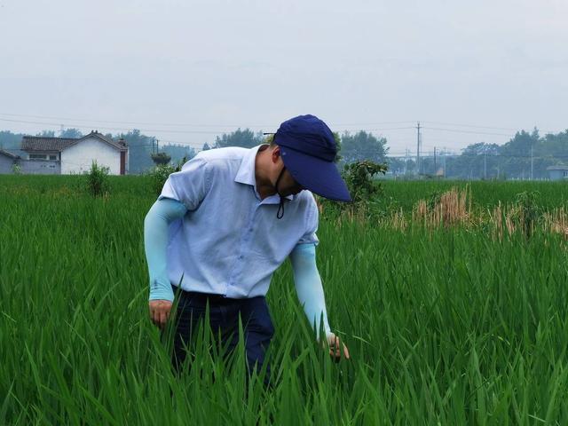 【开展各类生产技能培训】用这两招四川水稻提质增效就有望了 川农大教授国际学术刊物发论文揭示川水稻产量低的主要原因