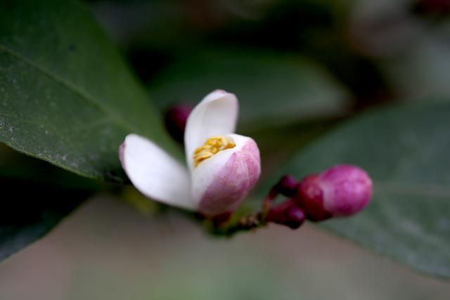 怪奇公社:盛开一种比腊梅更早的花,是季节错了,还是花错了?