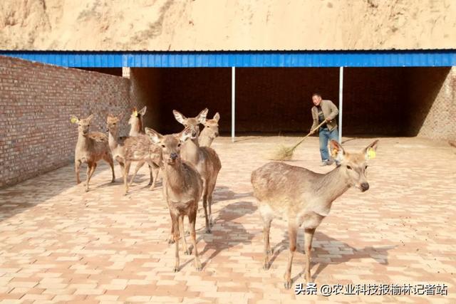 """火狐体育平台:吴堡:李家庄村致富有""""鹿"""""""