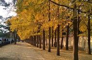 秋天的北京钓鱼台国宾馆银杏大道