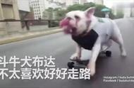 斗牛犬靠滑板吸粉无数,一路迎来羡慕的目光,人不如狗