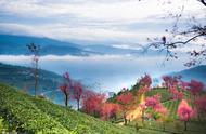 春天最早到达的地方 11月看樱花 云南无量山樱花谷 错过再等一年