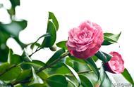 冬季养茶花,记住这几点,花大色艳开满枝